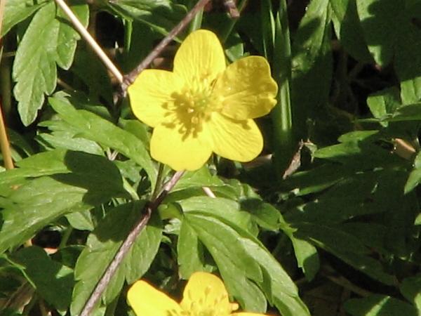 Gul Anemone (Anemone ranunculoides)
