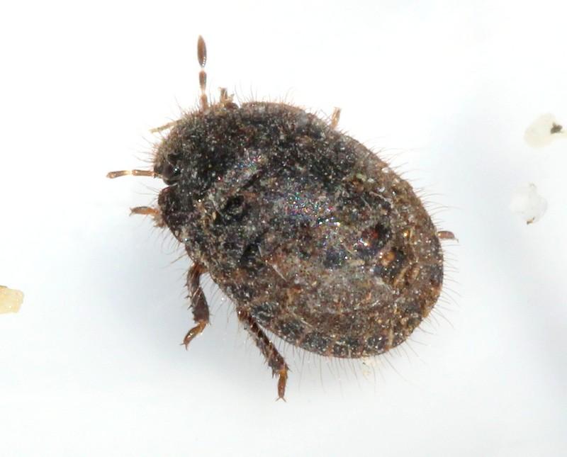 Sandtæge sp. (Odontoscelis sp.)
