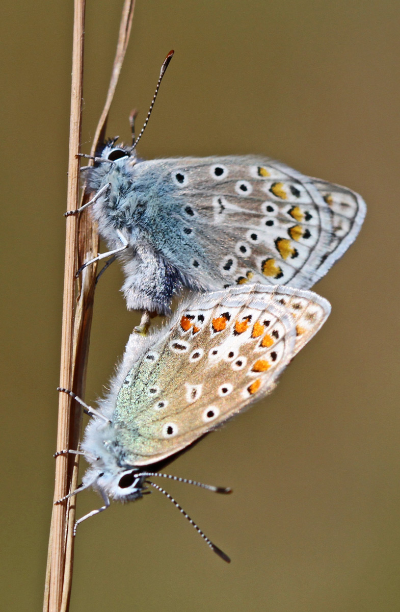 Almindelig Blåfugl (Polyommatus icarus)