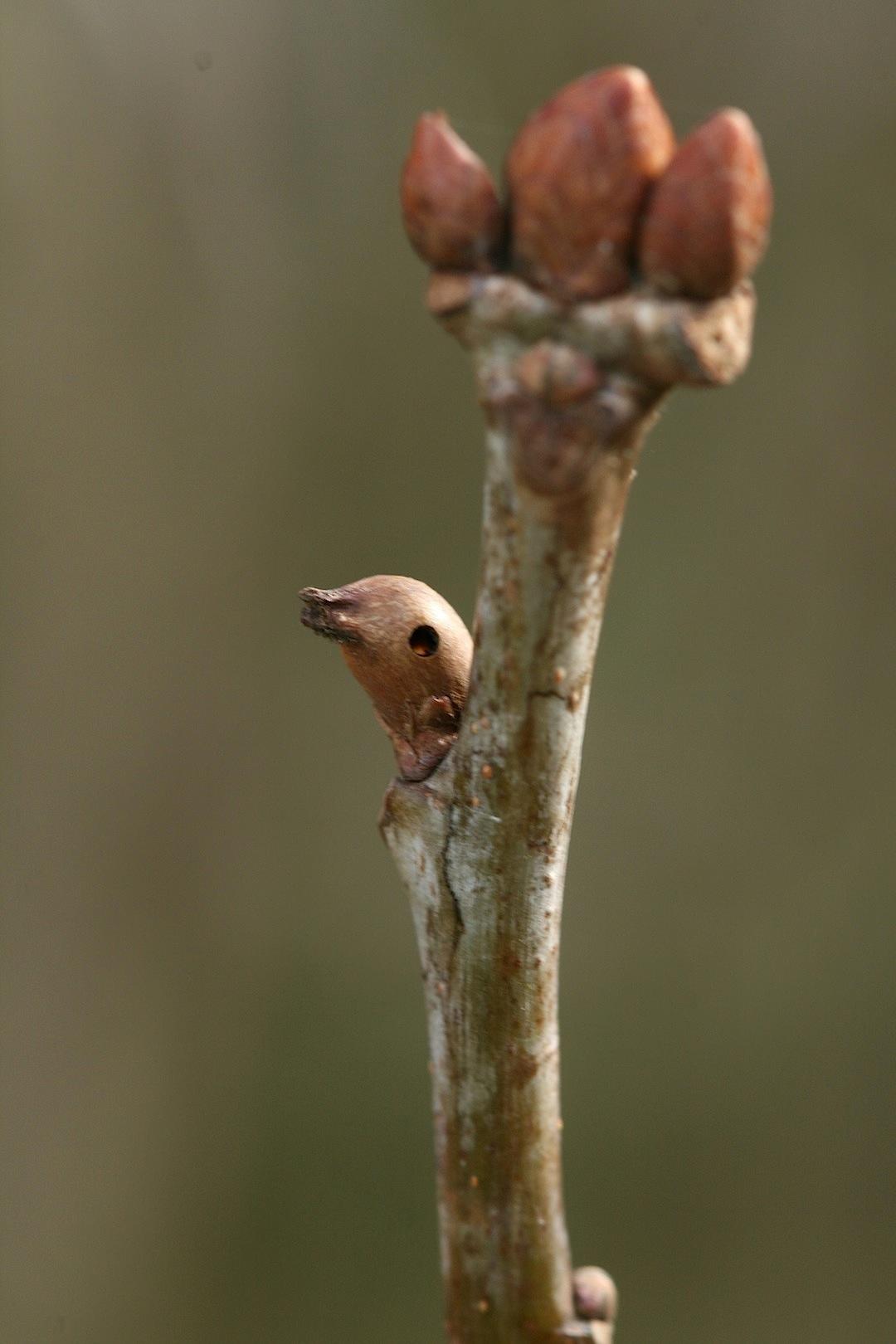 Andricus solitarius (Andricus solitarius)