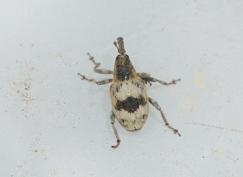 Foto/billede af Tapinotus sellatus (Tapinotus sellatus)