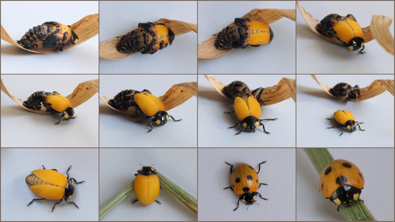 Foto/billede af Syvplettet marieh�ne (Coccinella septempunctata)