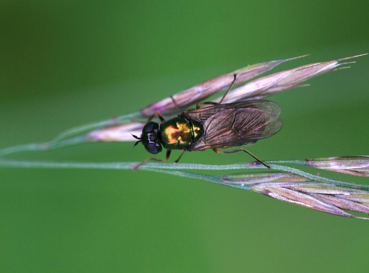 Grøn Våbenflue (Chloromyia formosa)