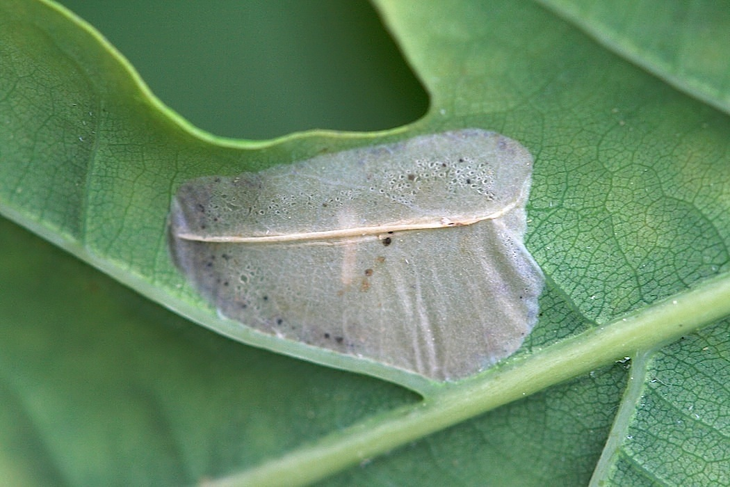 Phyllonorycter sp. (Phyllonorycter sp.)