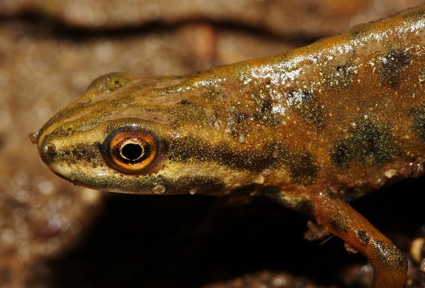 Foto/billede af Lille Vandsalamander (Lissotriton vulgaris)