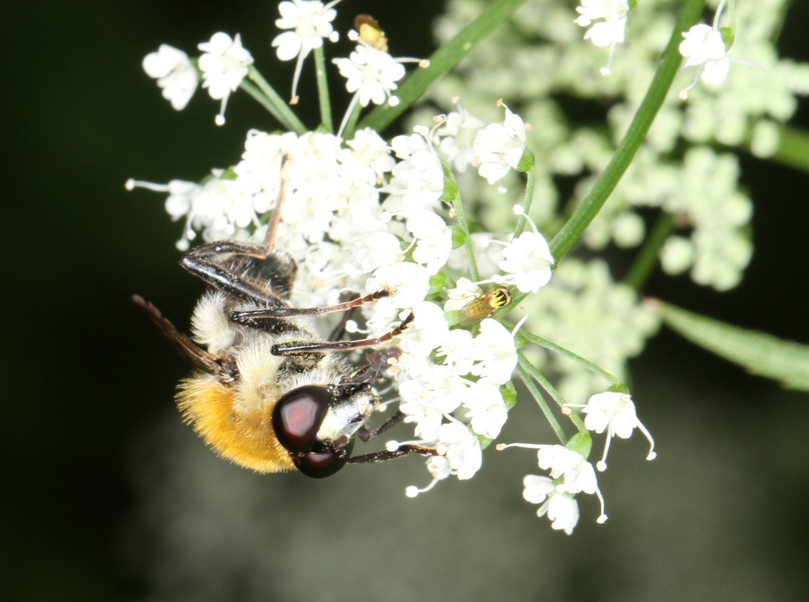 Uldhåret Pelssvirreflue (Criorhina floccosa)