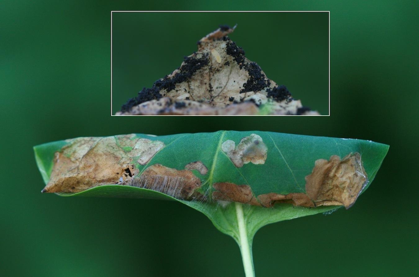 Syrenmøl (Gracillaria syringella)