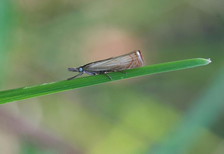 Have-Græsmøl (Chrysoteuchia culmella)