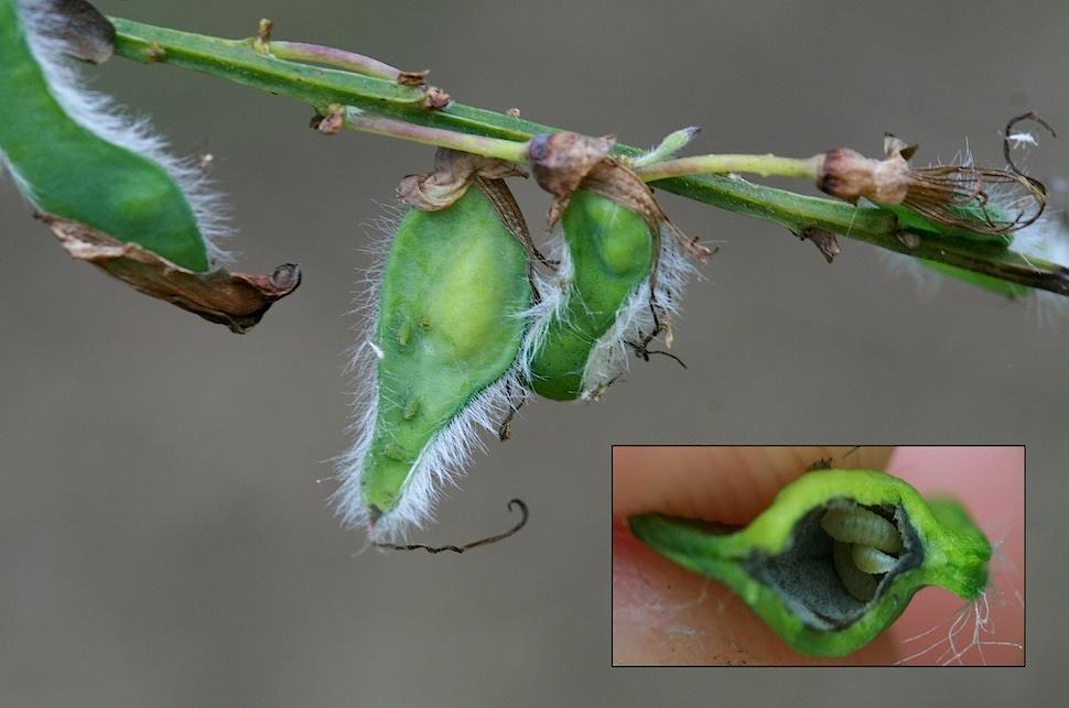 Asphondylia sarothamni (Asphondylia sarothamni)