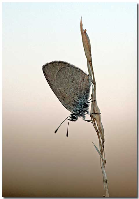 Dværgblåfugl (Cupido minimus)