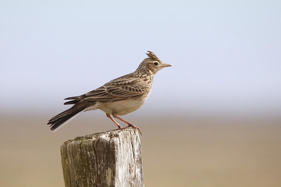 Foto/billede af Sanglærke (Alauda arvensis)