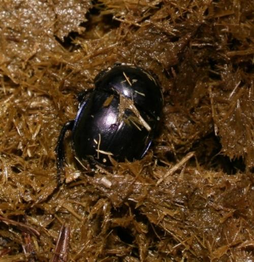 Foto/billede af Glat Skarnbasse (Trypocopris vernalis)