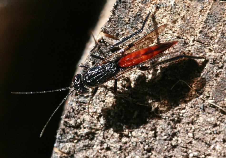 Foto/billede af Ibalia leucospoides (Ibalia leucospoides)