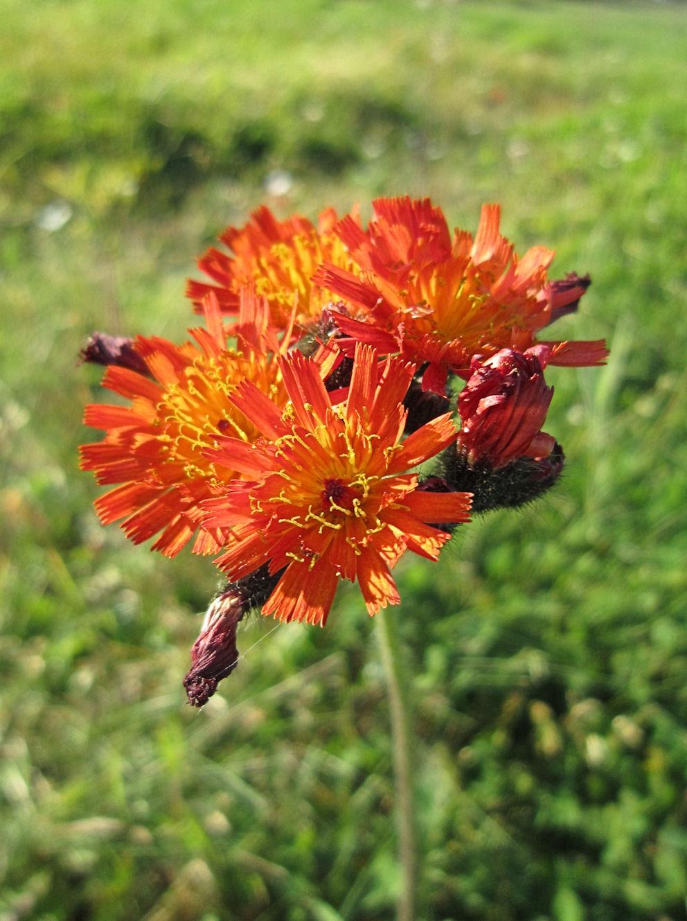 Foto/billede af Pomerans-Høgeurt (Pilosella aurantiaca ssp. aurantiaca)