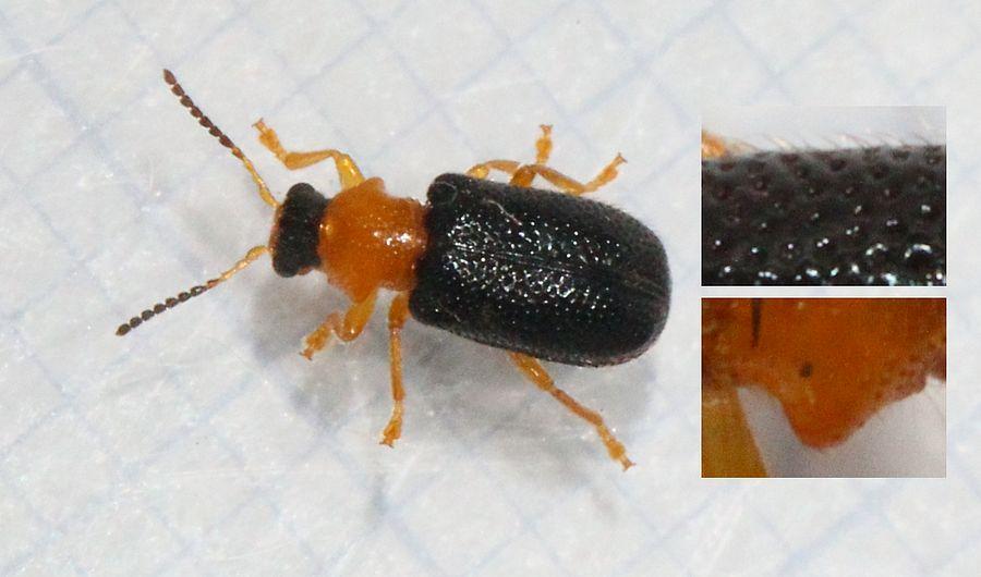 Foto/billede af Zeugophora frontalis (Zeugophora frontalis)