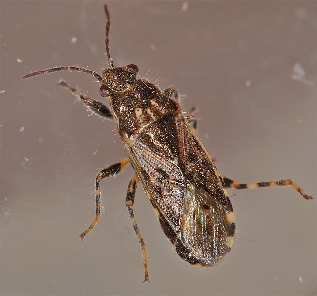 Foto/billede af Nældefrøtæge (Heterogaster urticae)