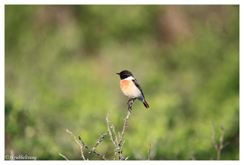 Foto/billede af Sibirisk Bynkefugl (Saxicola maurus)