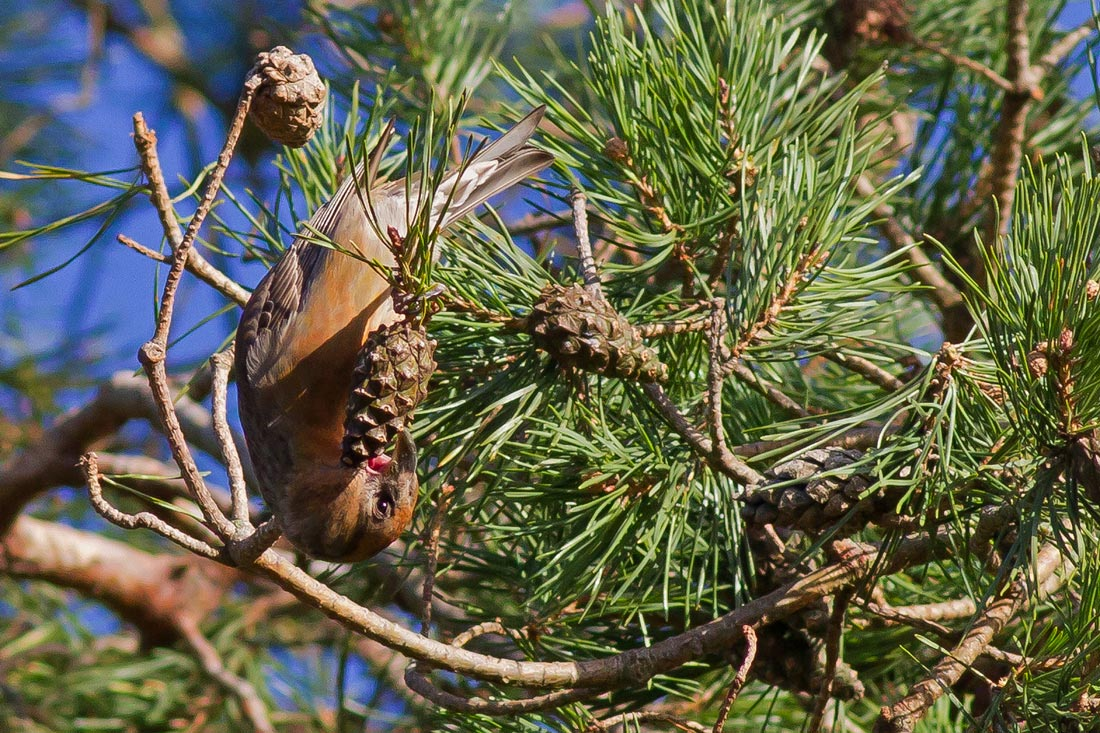 Stor Korsnæb (Loxia pytyopsittacus)