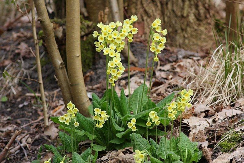 Foto/billede af Fladkravet Kodriver (Primula elatior)