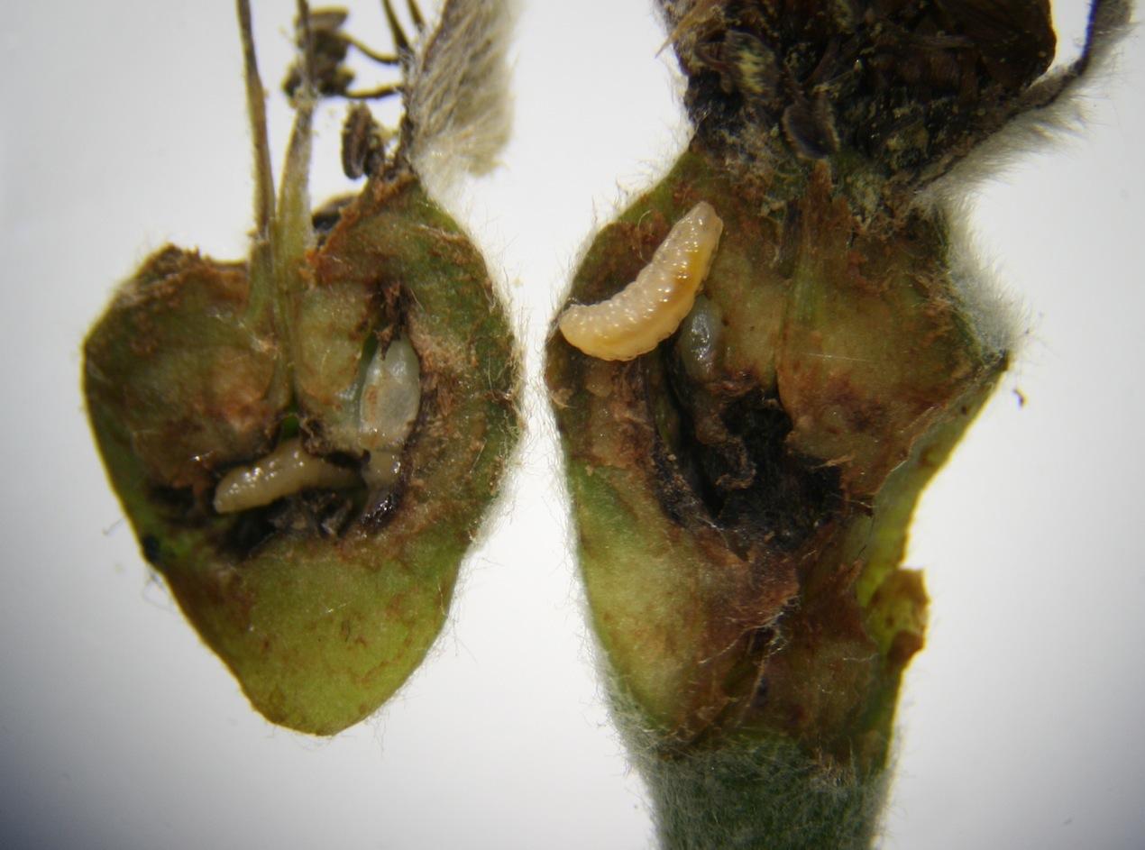 Pæregalmyg (Contarinia pyrivora)