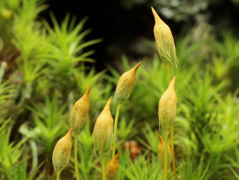Foto/billede af Almindelig Jomfruhår (Polytrichum commune)