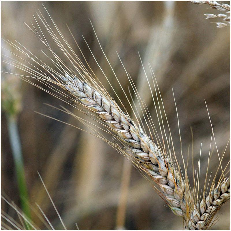 Rughvede (Secale cereale x Triticum aestivum)