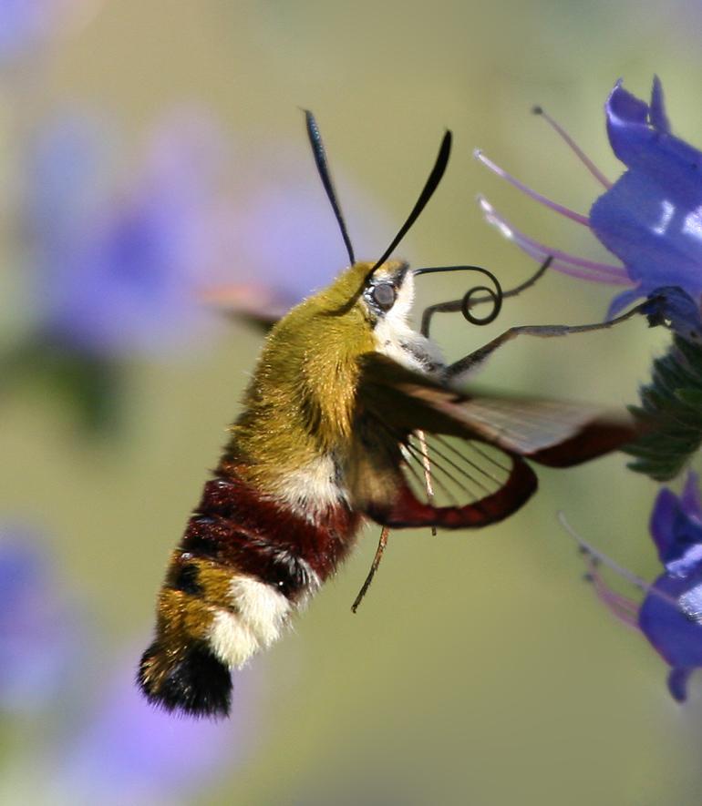 Foto/billede af Bredrandet Humlebisværmer (Hemaris fuciformis)