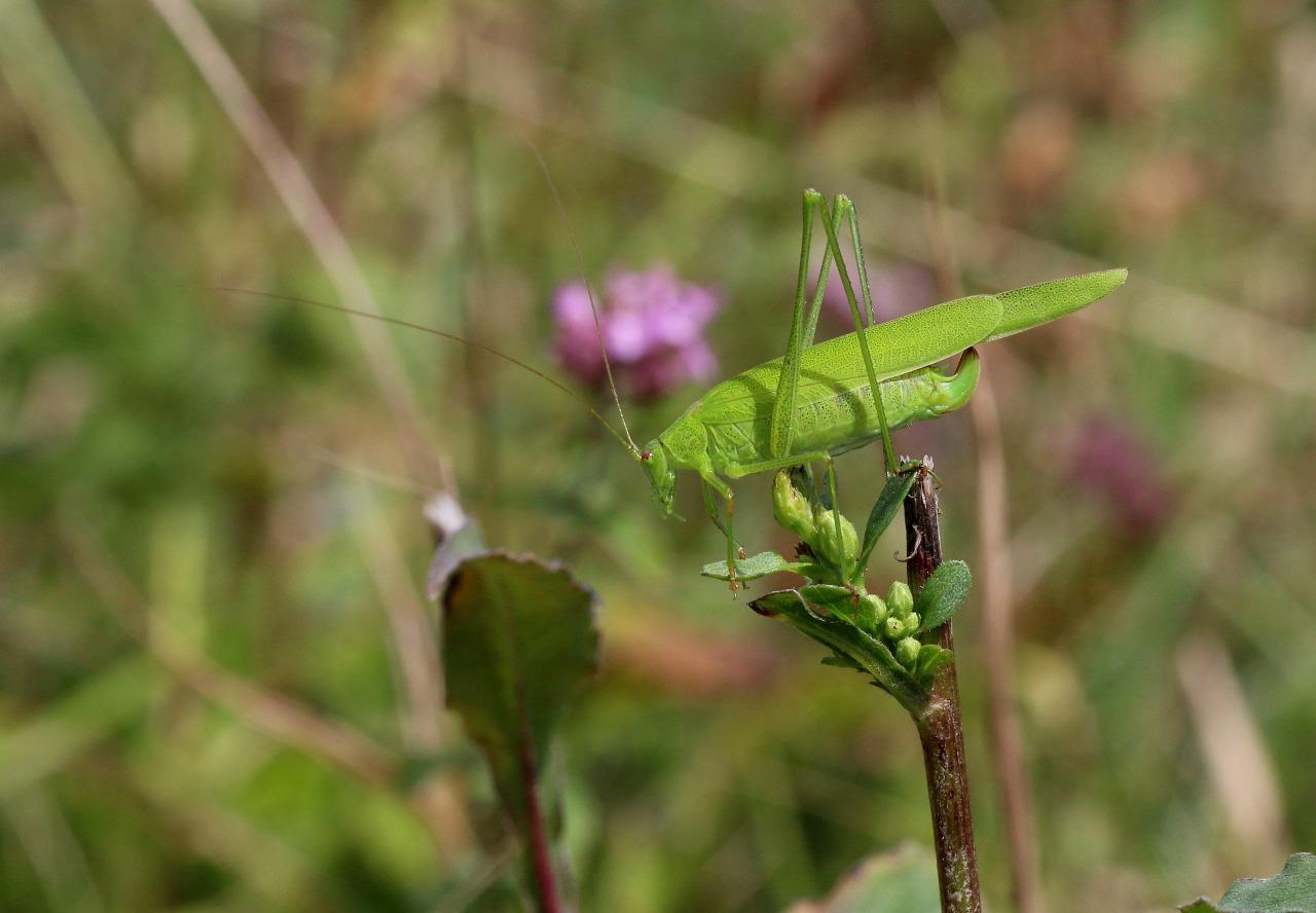 Foto/billede af Seglgræshoppe (Phaneroptera falcata)