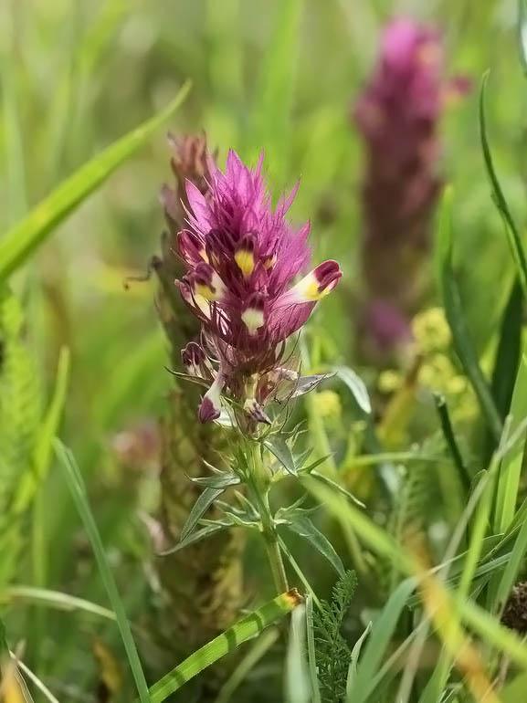Foto/billede af Ager-Kohvede (Melampyrum arvense)