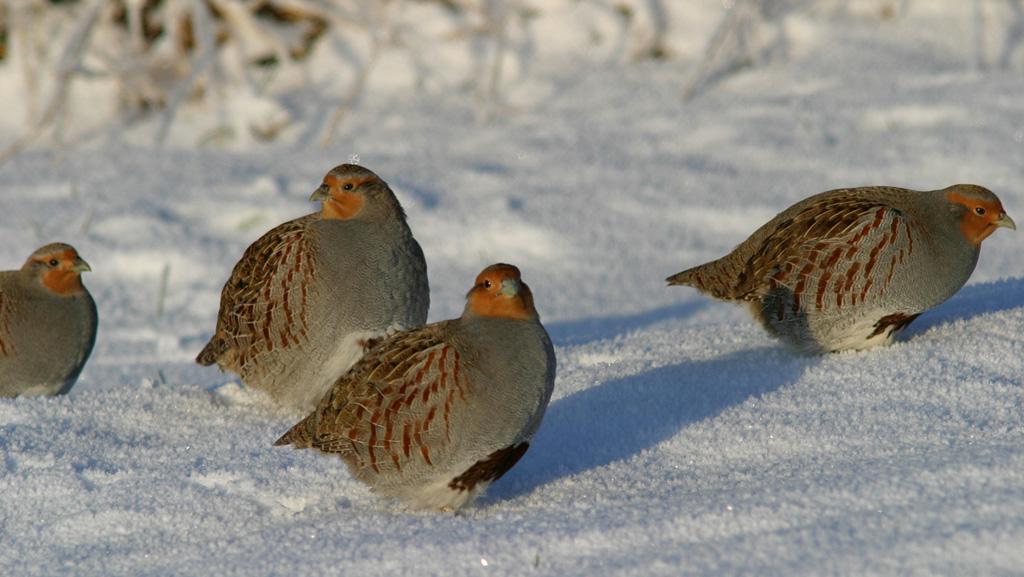 Foto/billede af Agerhøne (Perdix perdix)