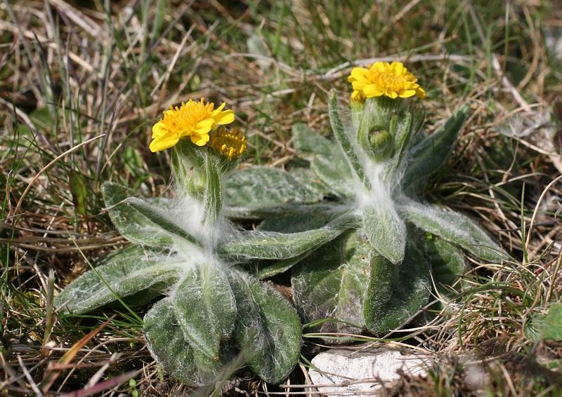 Foto/billede af Bakke-Fnokurt (Tephroseris integrifolia)