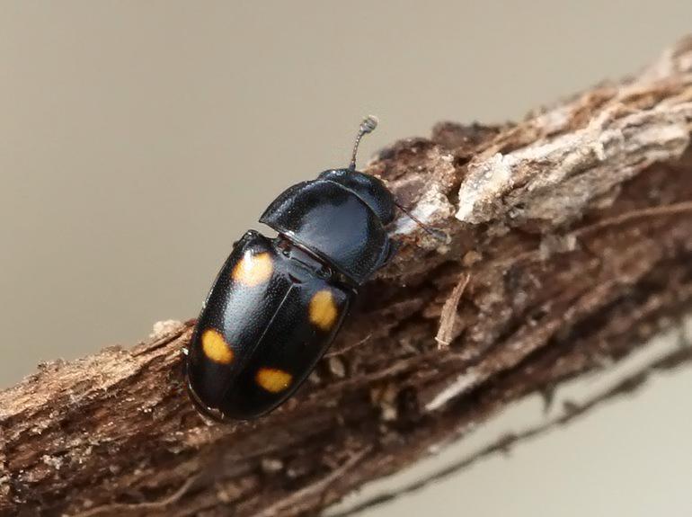 Glischrochilus hortensis (Glischrochilus hortensis)