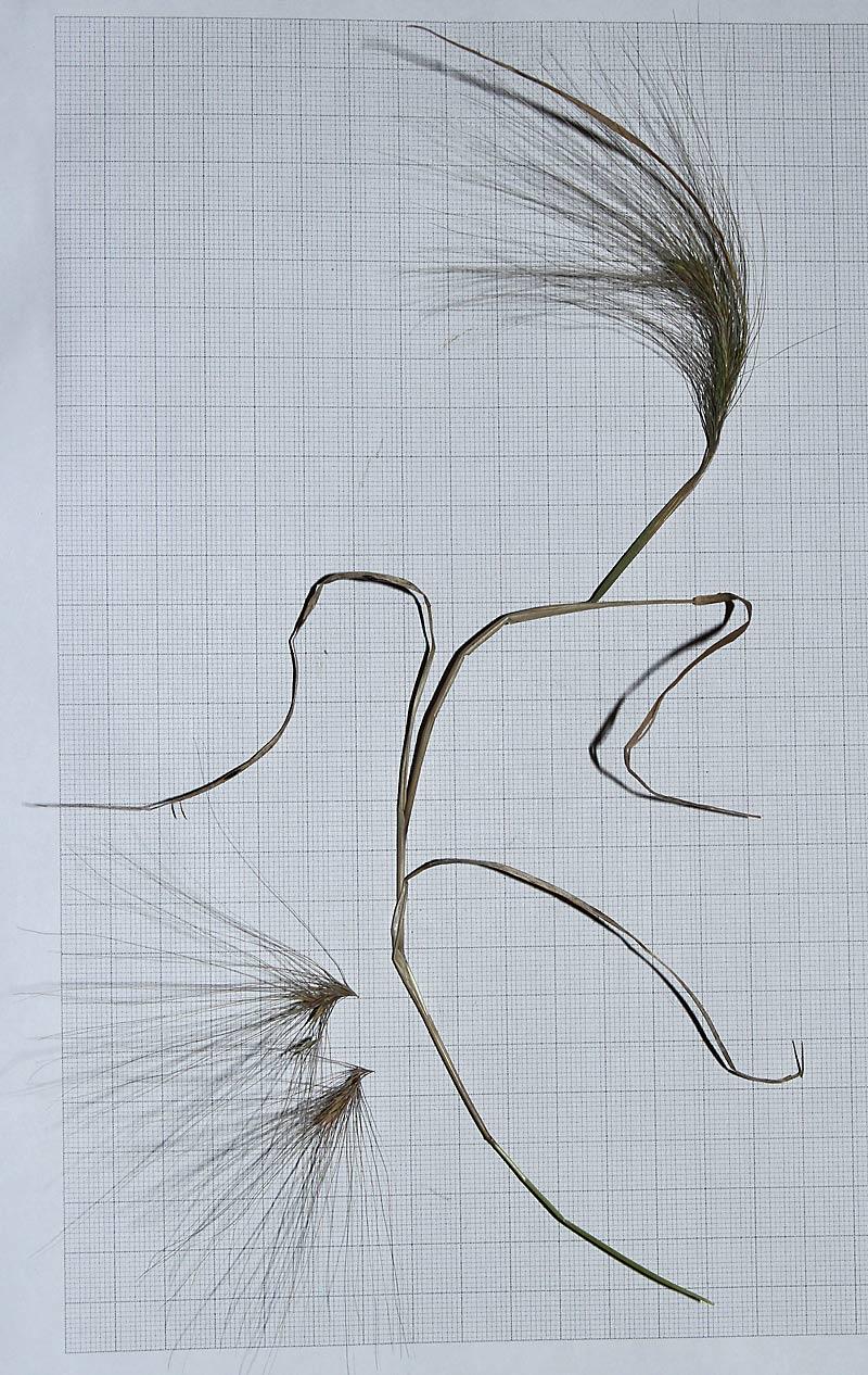 Egernhale-Byg (Hordeum jubatum)
