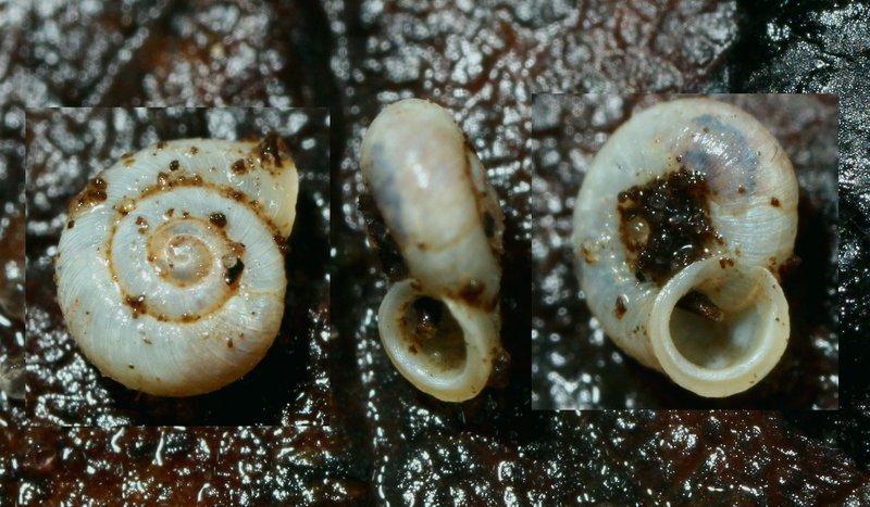 Foto/billede af Glat Græssnegl (Vallonia pulchella)