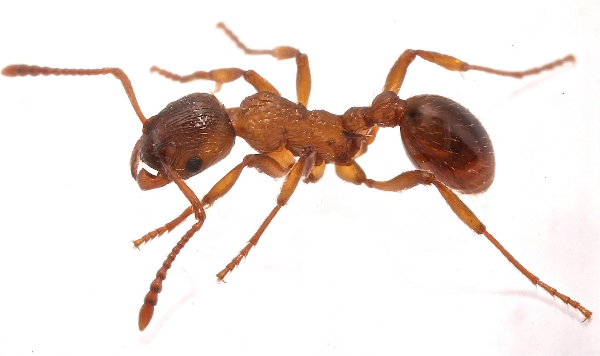Almindelig Stikmyre (Myrmica ruginodis)