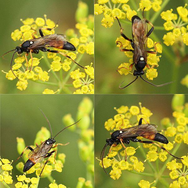 Ichneumon gracilicornis