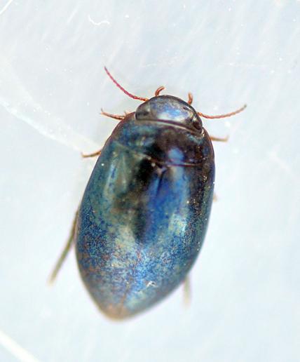 Ilybius chalconatus