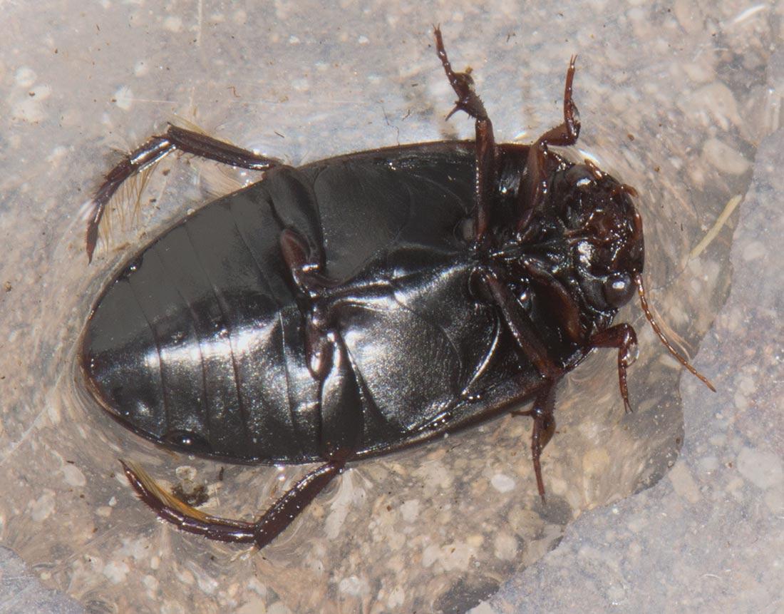Ilybius erichsoni (Ilybius erichsoni)