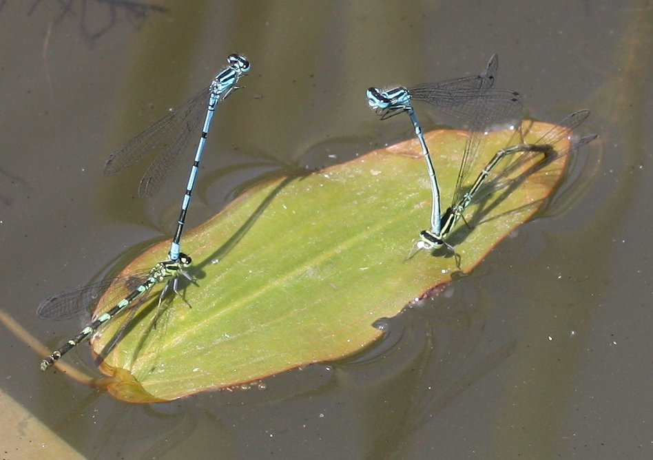 Foto/billede af Hestesko-Vandnymfe (Coenagrion puella)