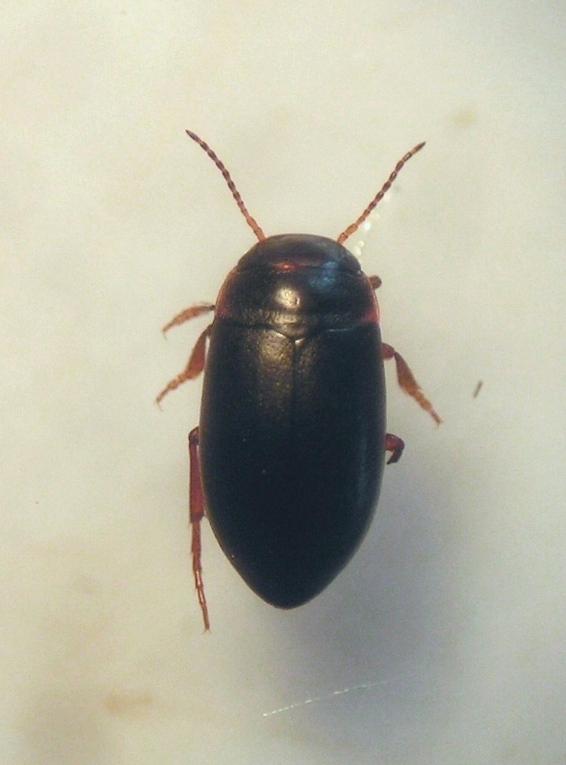 Hydroporus longicornis (Hydroporus longicornis)
