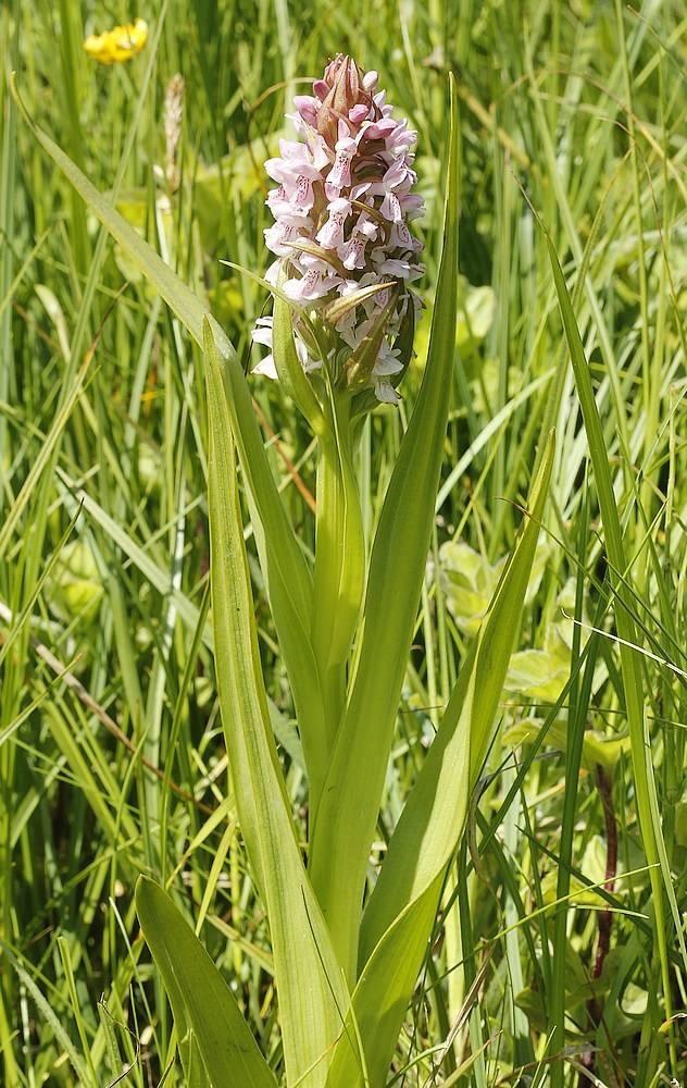 Kødfarvet Gøgeurt (Dactylorhiza incarnata ssp. incarnata)