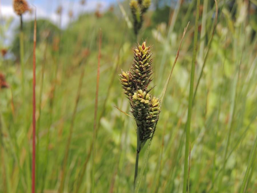 Kølle-Star (Carex buxbaumii)
