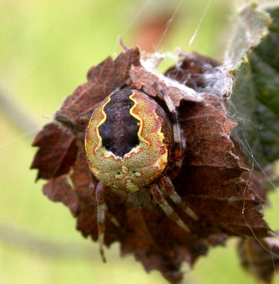 Marmoreret Hjulspinder (Araneus marmoreus)