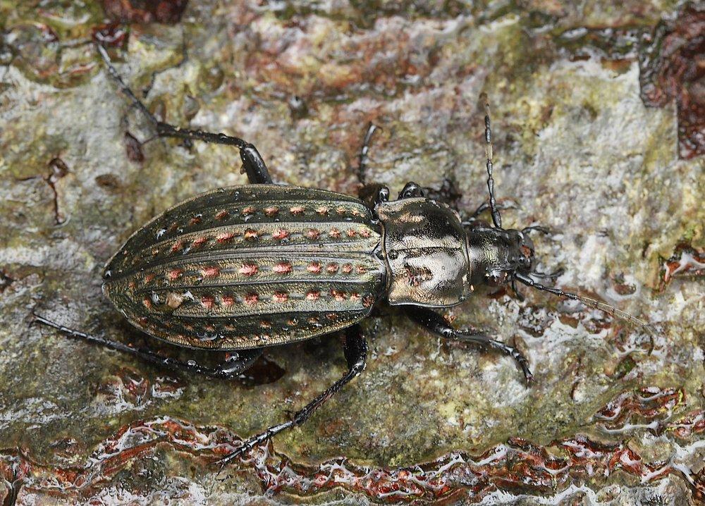 Dyndløber (Carabus clathratus)