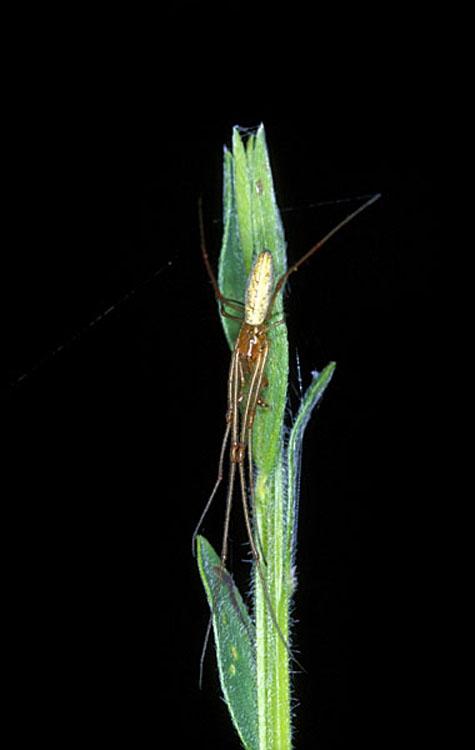 Tetragnatha pinicola