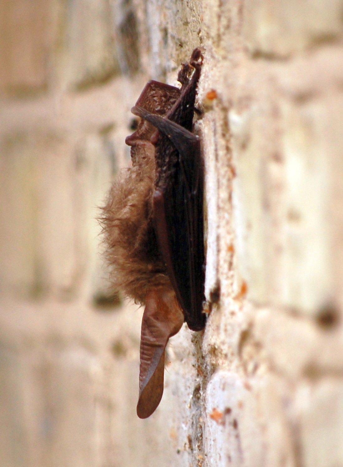 Foto/billede af Langøret Flagermus (Plecotus auritus)