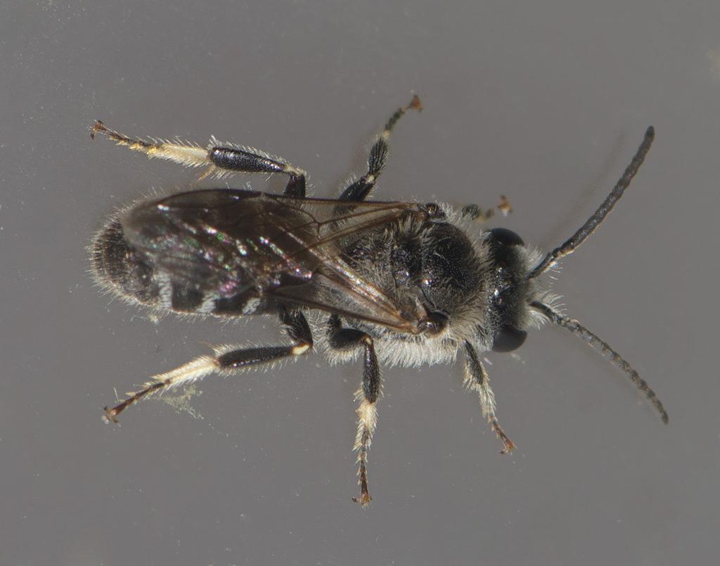 Foto/billede af Mat Smalbi (Lasioglossum leucozonium)