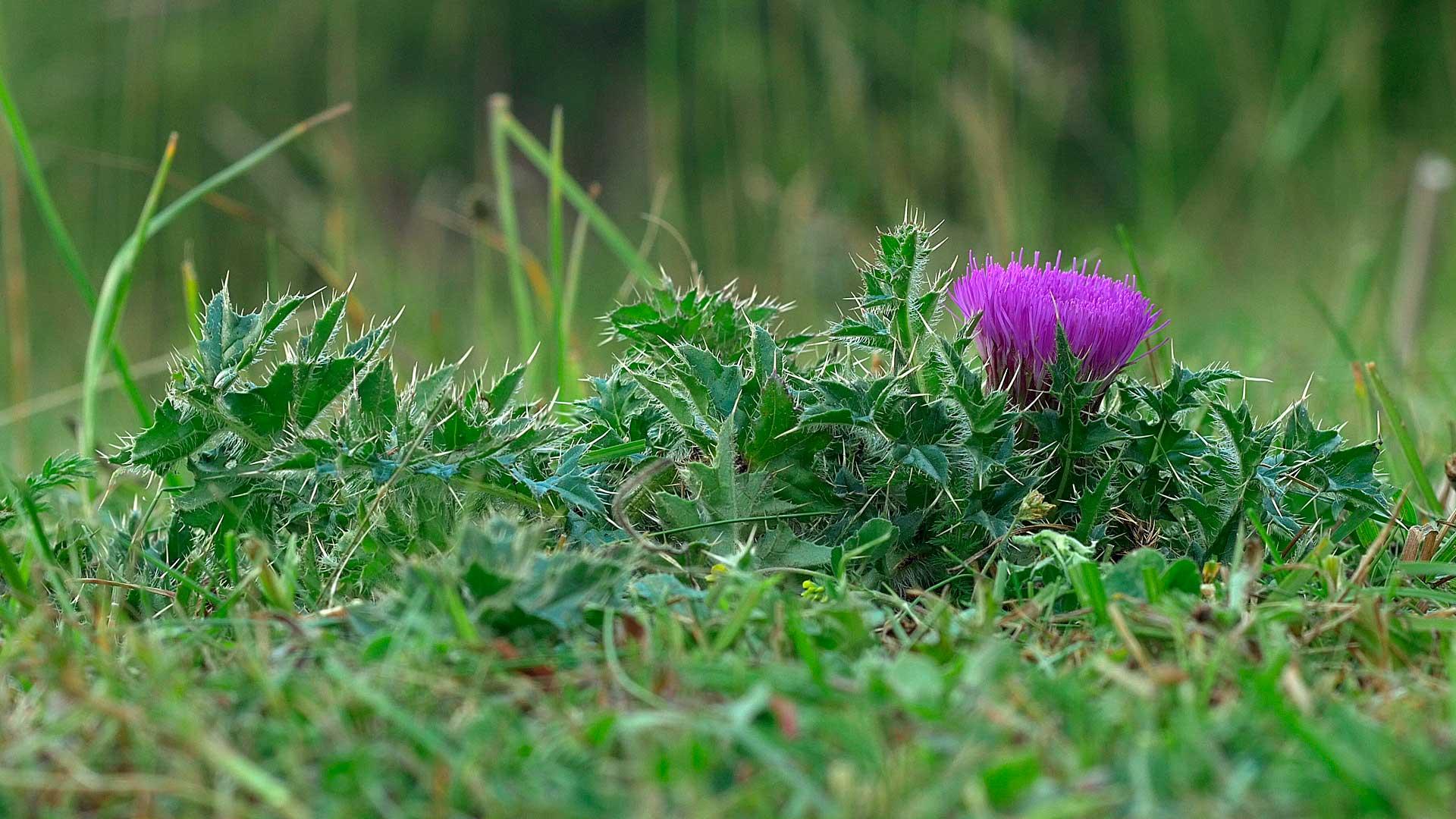 Lav Tidsel (Cirsium acaule)
