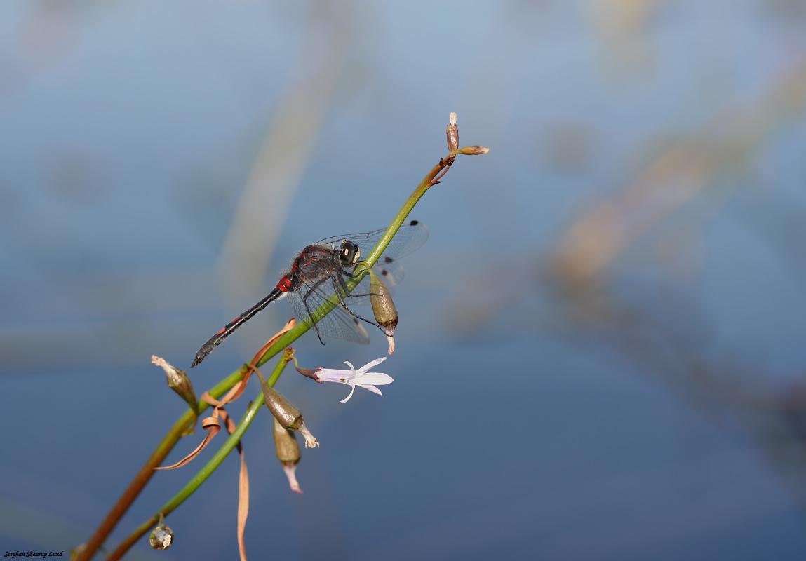 Foto/billede af Lille kærguldsmed (Leucorrhinia dubia)