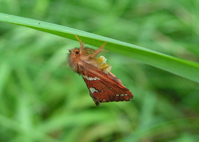 Foto/billede af Lille Rodæder (Phymatopus hecta)